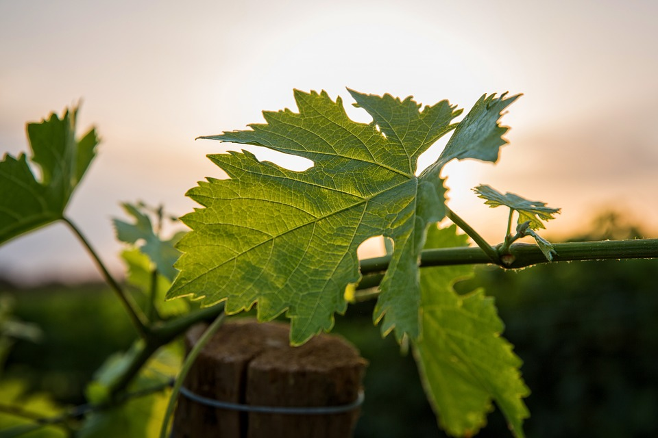 vine-1537315_960_720